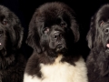 3 Newfies